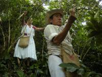 森林農法:コーヒーの実の収穫は大変な作業