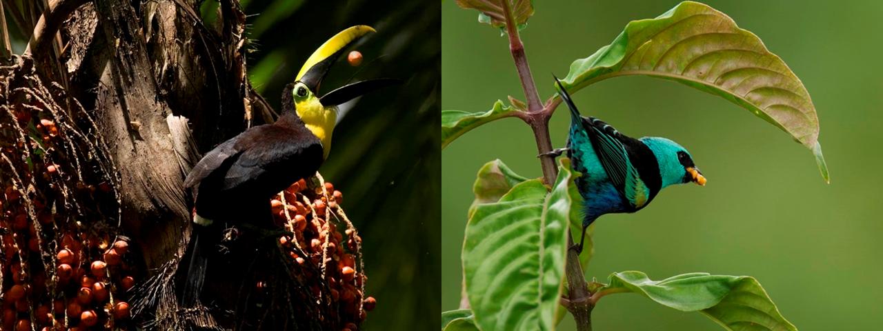 マシュピ農園のアグロフォレストリー(森林農法)の森を訪れる鳥たち(写真提供Mashpi Chocolater?a Artesanal)
