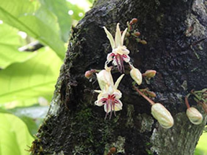 カカオの花の画像(木の幹に咲く))