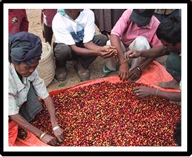 マウベシコーヒー生産者協同組合(COCAMAU)写真