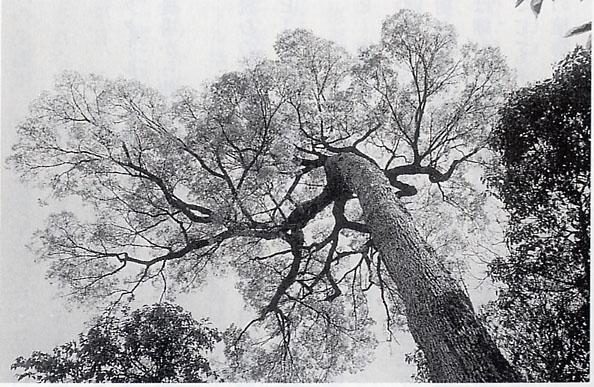 ジャカランダの樹.jpg