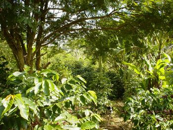 アグロフォレストリーのコーヒー畑