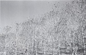霜の被害を受けたコーヒー樹