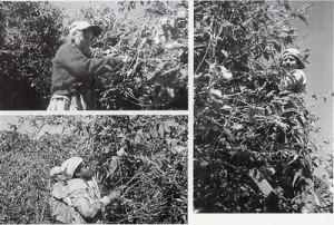 『有機無農薬コーヒーの収穫作業』