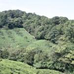 tea_farm3