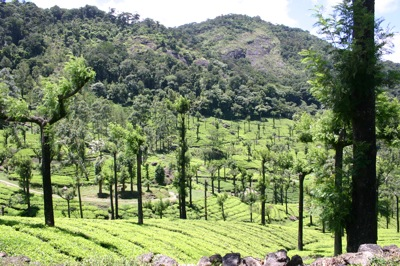 tea_farm4