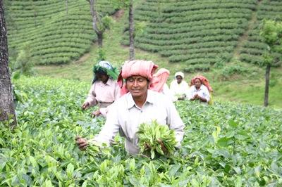 tea_pick2