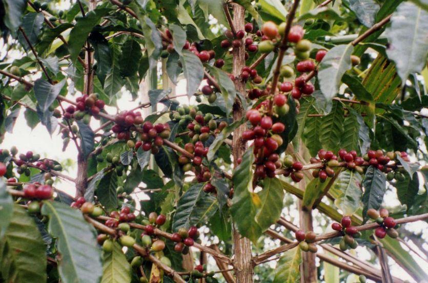 インタグコーヒーの赤い実