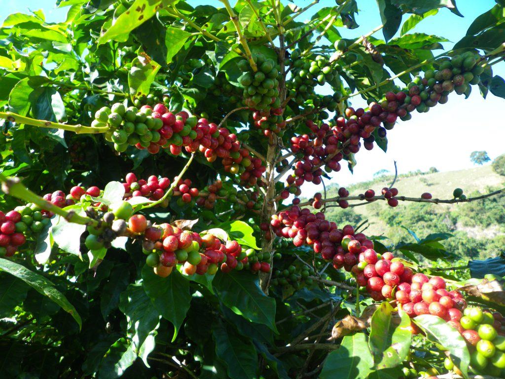 マノエラ農場のよく実った赤いコーヒー